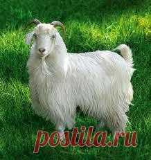 А знаете ли вы, что кашемир – это вовсе не овечья шерсть высокого качества? Это абсолютно другой материал. Кашемир – это пух (подшерсток) высокогорных коз.