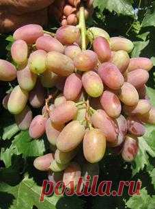 Виноград и все о винограде