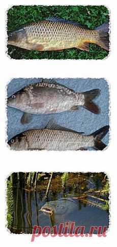 ¿Cómo coger a la carpa? Los secretos de la pesca. | SilverPike.ru