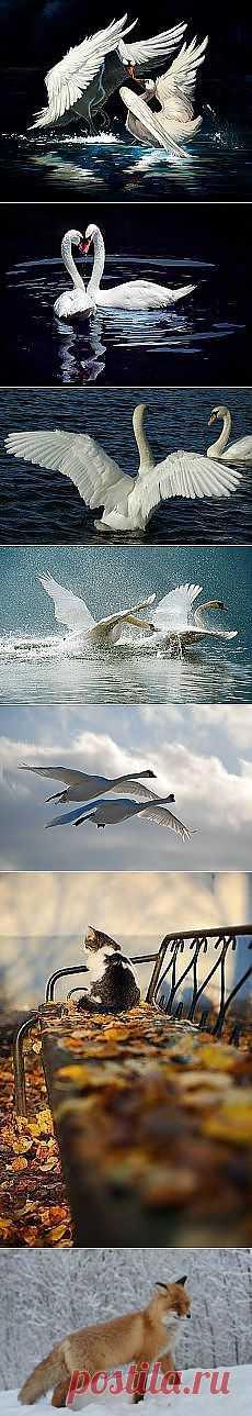 Los cisnes y otros materiales. Nuevo en su elección en Постила.ru - natali5357@mail.ru - los Correos Mail.Ru