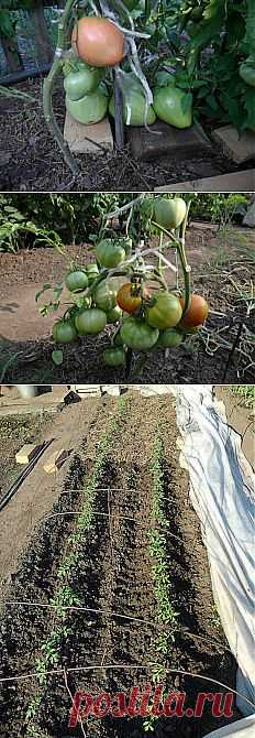 Ways of cultivation of tomatoes on the seasonal dacha. Practical experience\u000d\u000a\u000d\u000aAll tomatoes which are grown up on my country kitchen garden (Siberia, Altai) can conditionally be divided into three groups.
