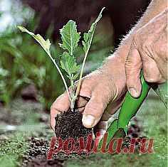 Как выращивать цветную капусту...без рассады.
