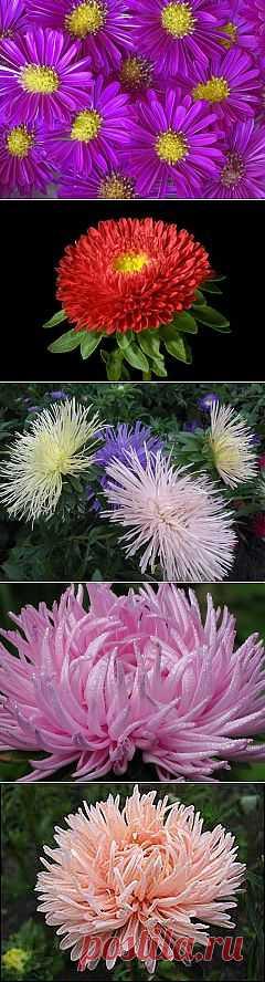 фото цветы астра