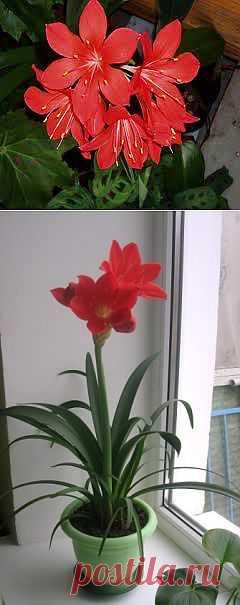 Валлота - Комнатные растения - Каталог статей - комнатные растения