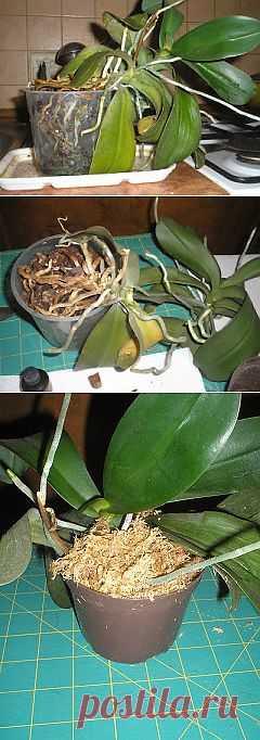 """Разделение или """"омоложение"""" орхидеи."""