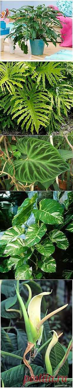 (+1) - Домашняя экзотика - Филодендрон | САД НА ПОДОКОННИКЕ