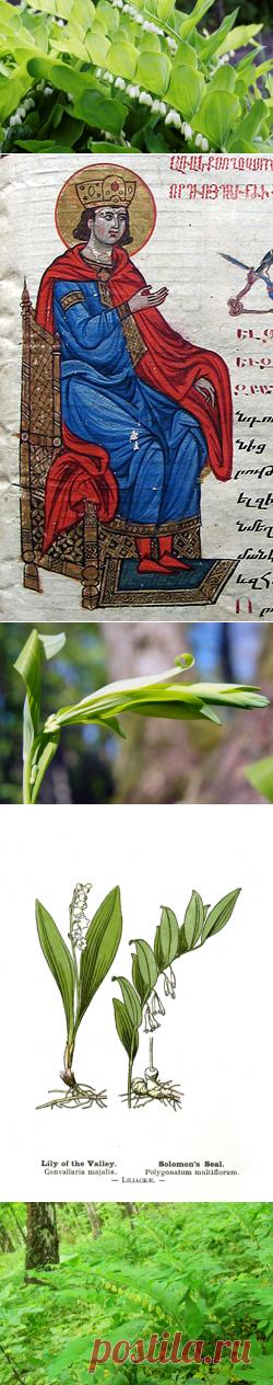 Соломонова печать - купена. Как вырастить ее в своем саду? | Растения