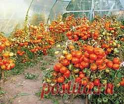 Северные помидоры ...