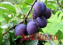 Чем подкормить сливу, чтобы плодоносила?