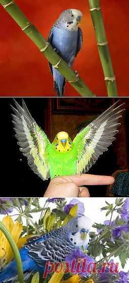 Как научить попугая разговаривать?   Домохозяйки