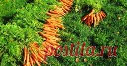 Рецепт подкормки, после которой морковь быстро идет в рост