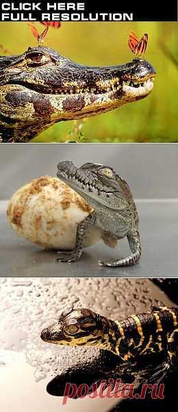Крокодилы едят камни...