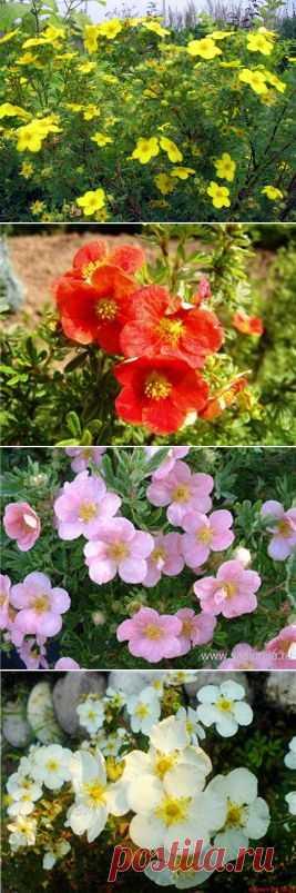 Курильский чай - великолепное растение для вашего сада. | Самоцветик