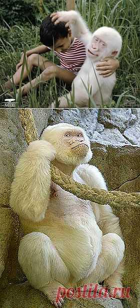 Горилла Снежок - вечный символ зоопарка Барселоны.