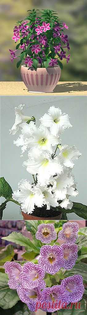 (+1) тема - Все о семействе «Геснериевых» цветов | САД НА ПОДОКОННИКЕ