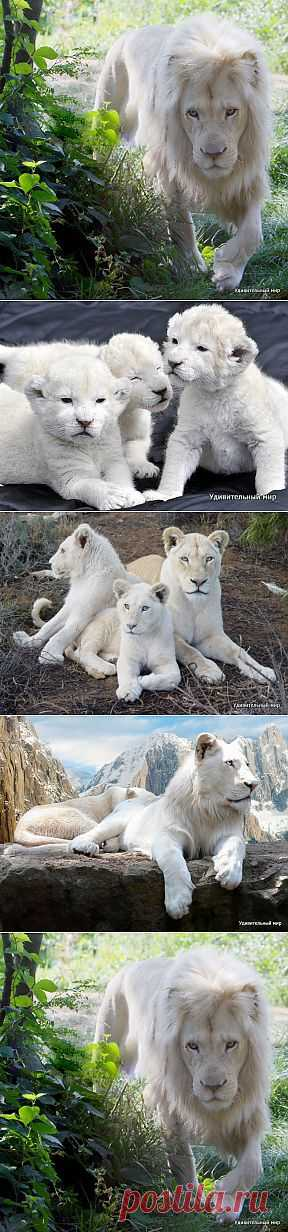 Белый лев | Удивительный мир природы
