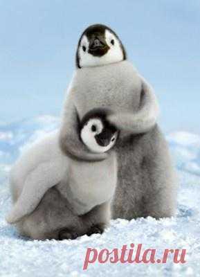 Трогательные малыши-пингвинята!