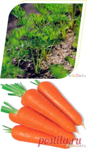Главные элементы технологии выращивания моркови {ФЕрмер САдовод ДАчник}