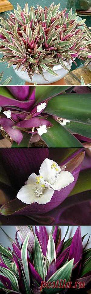 Растение Рео - элегантность вашего дома | Все о цветах