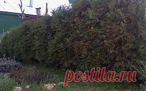 Живая изгородь на даче | Ленивый сад