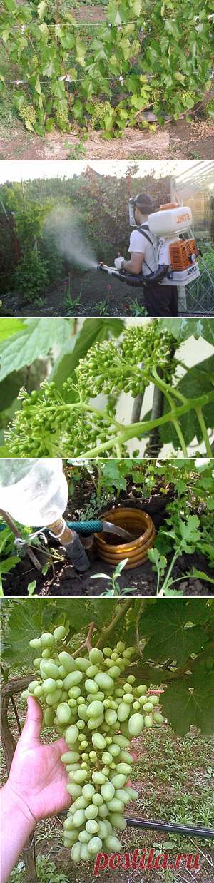 El tratamiento, el vidriado, la fertilización, pasynkovanie, el cuidado de la uva en verano + el vídeo
