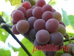 Preparation of wine from grapes Isabella, Lidiya, Moldova
