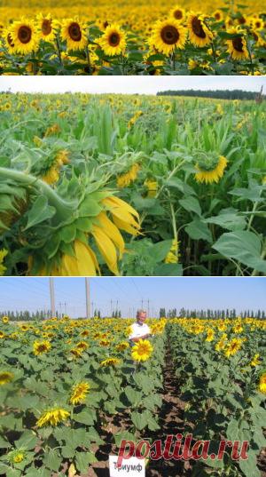 Возделывание подсолнечника на тёмно-каштановых почвах - БиоКорова