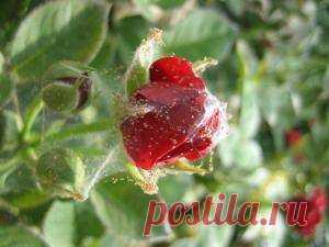 Спасаем домашнюю розу от паутинного клеща: советы цветоводов