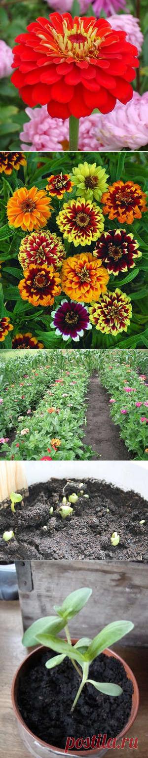 Циния выращивание для семян