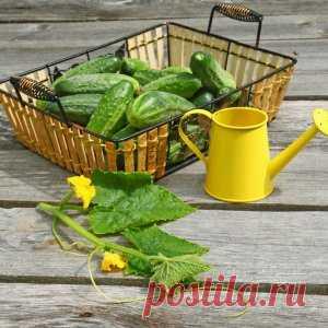 Чем подкормить огурцы для хорошего роста | Огородник (Усадьба)