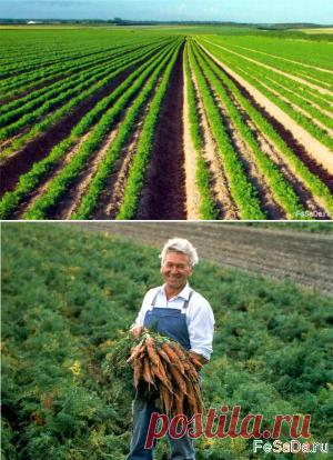 Интенсивная технология выращивания моркови столовой (окончание) {ФЕрмер САдовод ДАчник}