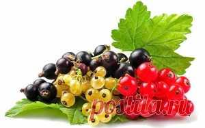 Правила обрезки красной и черной смородины | Дача - впрок
