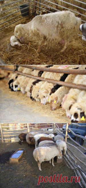 Влияние подкормок меди и цинка суягных овец на развитие ягнят - БиоКорова