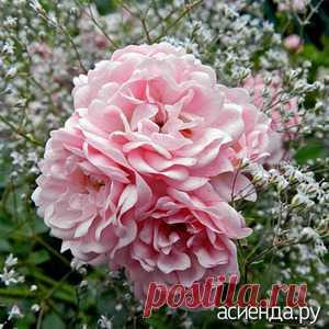 Что можно посадить рядом с розами? / Асиенда.ру