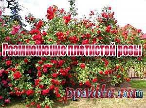 Размножение плетистой розы (2013) DVDRip