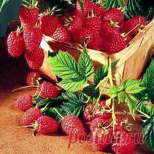 Secrets of high productivity of raspberry.