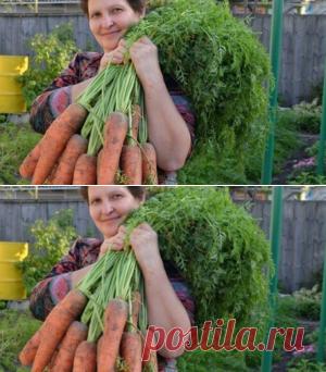Готовы к такому урожаю? Нужно сеять морковь следующим образом…