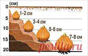 Все про посадку луковичных растений перед зимой   6 соток