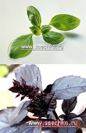 La albahaca (reyhan o la hierbabuena) | Saechka.Ru - las recetas de la foto