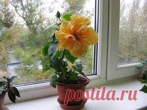 Гибискус в народе комнатная роза, правила и советы по уходу