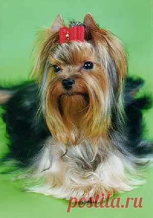 Журнал о породе собак *Йорки*(йоркширский терьер) - Bсе для людей!