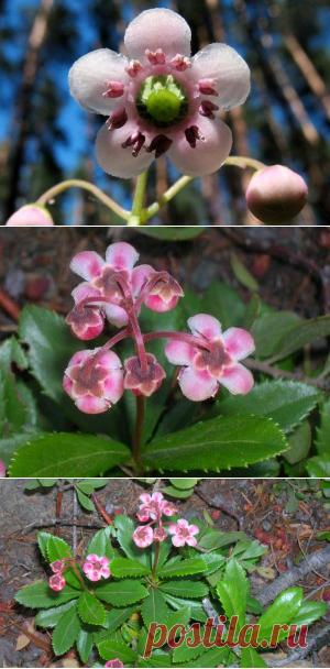 Зимолюбка (зонтичная трава): описание и лечебные свойства растения, фото