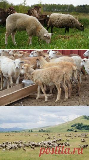 Рацион и нормы кормления овцематок - БиоКорова