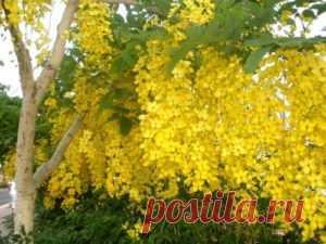 Бобовник садовый | sadok33.ru