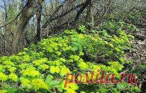 Селезеночник - весенний эфемероид из семейства камнеломковых. Лекарственное растение. А вот селезенку, похоже, не лечит...