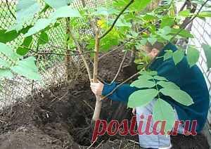 Подготовка к посадке плодовых деревьев | Дача - впрок