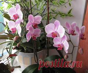 Почему у орхидеи вялые листья и усыхает цветонос, и как это исправить?