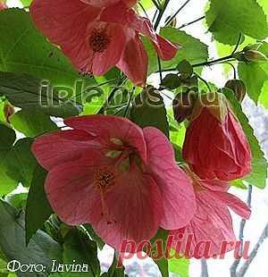 Абутилон Abutilon - Комнатные растения и цветы