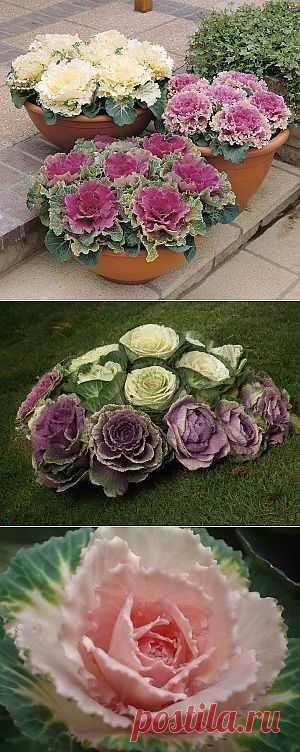 Как вырастить декоративную капусту — брассика | Дача - впрок