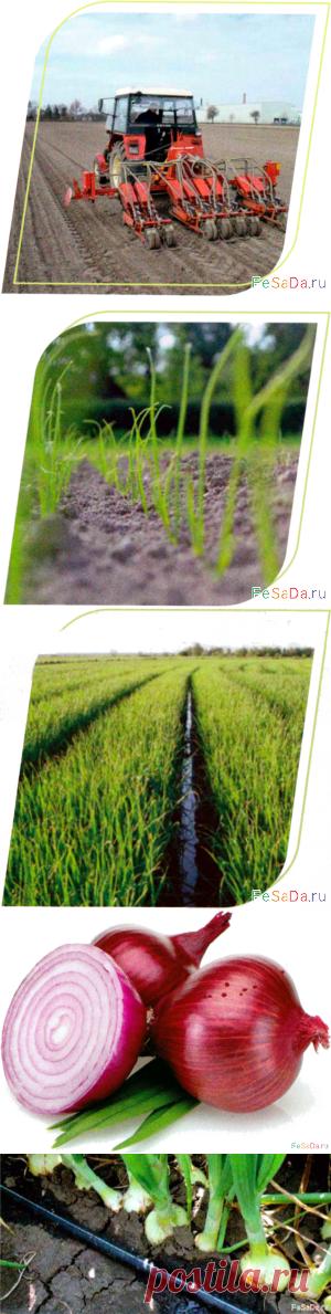 Главные элементы технологии выращивания лука {ФЕрмер САдовод ДАчник}